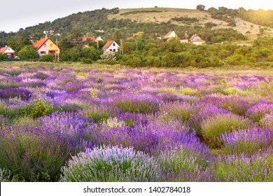 View of hungarian lavender field in Tihany. Beautiful landscape with purple flowers at lake Balaton.