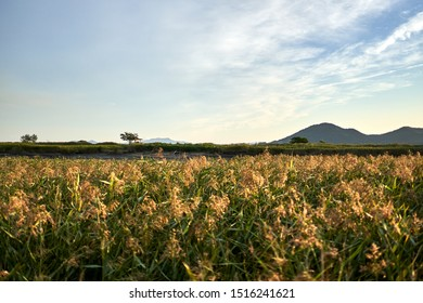 A view of a hut and the reed beds in Suncheonman Bay Wetland Reserve of South Korea.