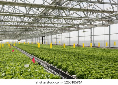View of the hydroponics style of cultivation is seen at a farm. It is a subset of hydroculture where plants are grown using mineral solvent instead of soil. Cabbage and lettuce plants are seen being