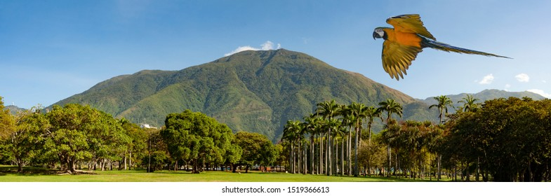 View of the  iconic  Caracas mountain el Avila or Waraira Repano from the East Park or Parque del Este and flying macaw.
