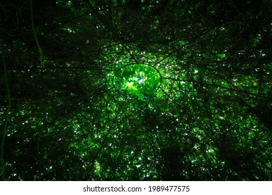 View from inside a large dome of Virginia Creeper.
