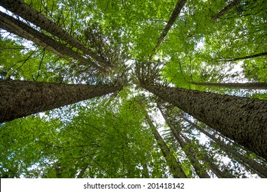 View Up Into The Tree Crowns Of An Old Forest In Austria