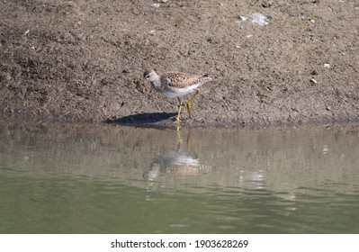 View of Isolated Green Sandpiper Bird