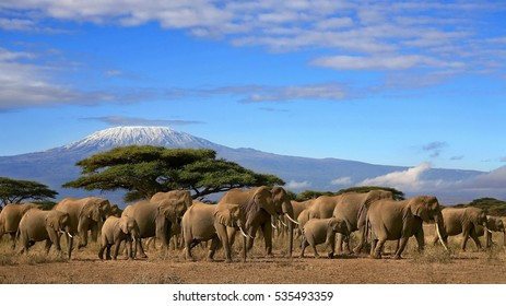 A view of Kilimanjaro with a herd of elephants in the foreground on the Maasa Mara game reserve.