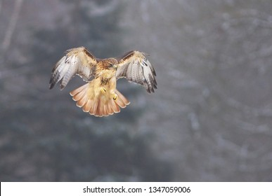 View of a landing red-tailed hawk with a great wingspan with a winter forest on background