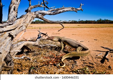 A view of a large Australian lizard with green and yellow skin that goes under a dry tree. Dangerous animals in the desert, outback in Australia, dry roads, adventure concept