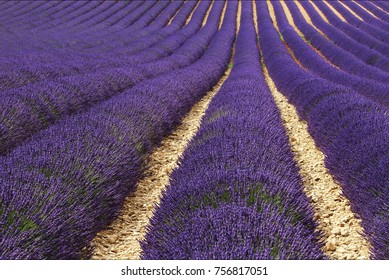 view of lavender fields, on the plateau of valensole, south east of France, in Provence close to Luberon