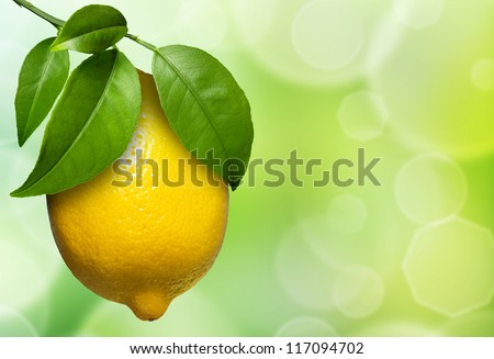 view of lemon hanging on a lemon tree, surround by foliage.