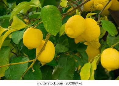 View of lemons on the tree with shallow depth of field.