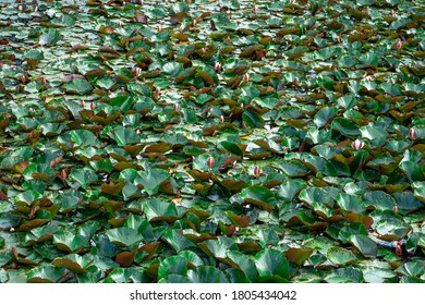 Lilly Pad Texture High Res Stock Images Shutterstock