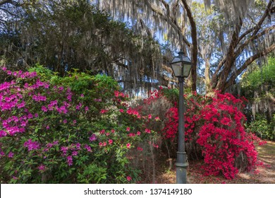 View of a live oak tree with hanging moss and multicolored azalea bushes in spring bloom in the lowcountry of Charleston, South Carolina.