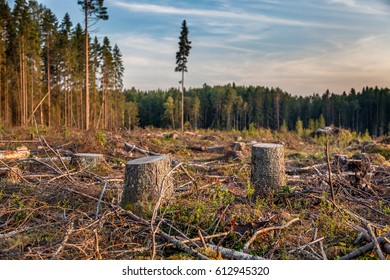 View of logs of felled trees on pine forest outskirts with snags, timber, roots and stumps in Russia in summer