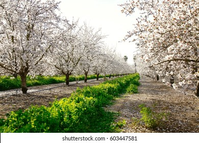View looking down a row of mature almond trees in full bloom.