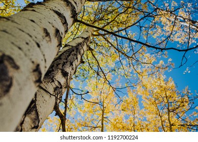 The view looking up in a yellow Colorado aspen grove in autumn