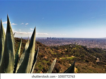 View of Los Angeles downtown and the Griffith Observatory as seen from the Griffith Park, L.A., California, with agave leaves in the foreground. The Griffith Park is one the largest urban parks in USA