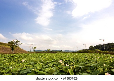 View of Lotus garden with a waterfront walkway, Sejong, South Korea