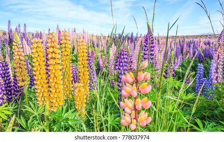 View of Lupin Flower Field near Lake Tekapo Landscape, New Zealand. Colorful Lupin Flowers in full bloom with mountain ranges background. Travel New Zealand Nature, Tourist Natural Attraction concept