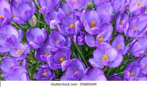 View of magic blooming spring flowers crocus growing in wildlife. Purple crocus growing from earth outside.