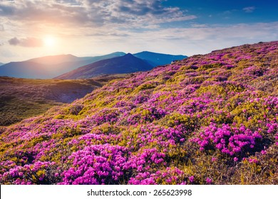 View of the magic pink rhododendron flowers on the hill. Dramatic scene. National park Chornogora. Carpathian, Ukraine, Europe. Beauty world. Retro style, vintage soft filter. Instagram toning effect