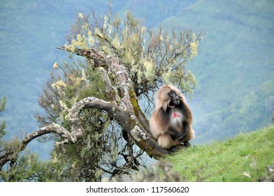 View of male baboon siting near a tree in Simien mountains park, Ethiopia
