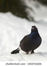 View of a male of a black grouse in the winter