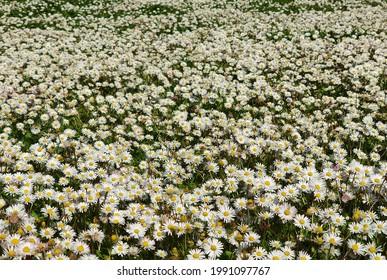 Blick auf viele Gänseblümchen Bellis Perennis in Deutschland im Frühjahr
