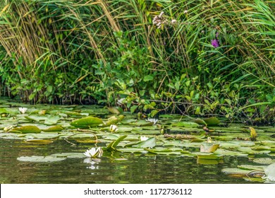 View of many lily's in a lake in the water on the waterside with reed