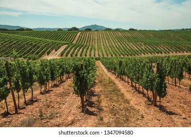 View of many parallel vines stretches as far as the eye could see going up the hill, in a vineyard near Estremoz. A nice little historic town with several buildings made of marble on eastern Portugal.