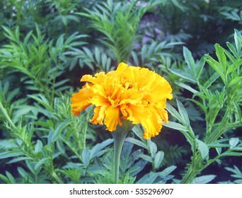 A view of marigold