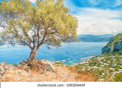 view of marina grande from mountain top with old olive tree in foreground, Capri, Salerno, Amalfi coast, Campania, Italy
