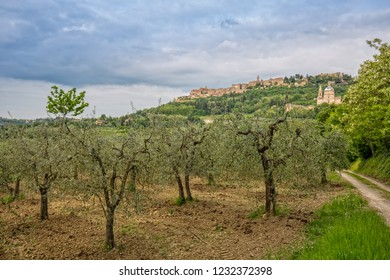View of the medieval village of Montepulciano. Olive plantation at the foot of the hilltop village Montepulciano, overlooking the church Madonna di San Biagio in Tuscany, Italy