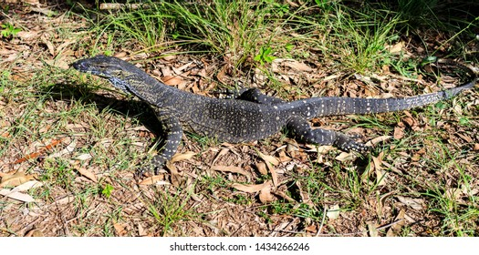 View of a medium size Lace Monitor or Goanna, Varanus varius, in the grounds of the Glass House Mountains Lookout, Queensland, Australia