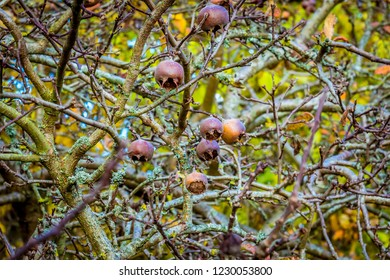 A view of Medlars fruit in an orchard in Alfriston, Sussex in Autumn