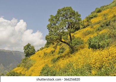 View of a meskel flower blooming slope in Simein mountain park, Ethiopia