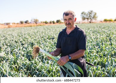 View of a middle age man harvesting salad cabbage vegetable in a greenhouse.