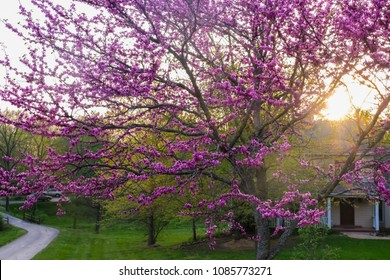 View of a Midwestern  neighborhood with a large blooming redbud tree during sunset; spring in Missouri