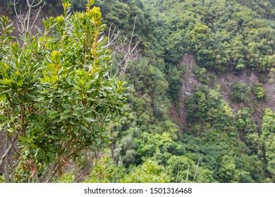 View from the Mirador Espigon del Atravesado Los Tilos, La Palma into the rain forest canyon with a fresh tree in the foreground.