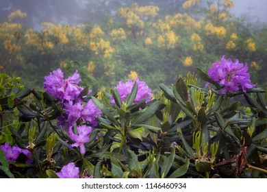 View of mountain roses in fog (Rhododendron ponticum and luteum) The image is captured in the mountain called Sis of Trabzon city located in Black Sea region of Turkey.
