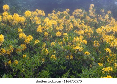 View of mountain roses in fog (Rhododendron luteum) The image is captured in the mountain called Sis of Trabzon city located in Black Sea region of Turkey.