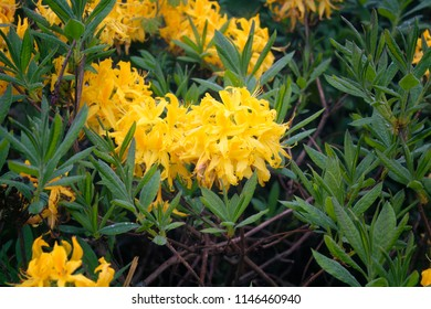 View of mountain roses (Rhododendron luteum) The image is captured in the mountain called Sis of Trabzon city located in Black Sea region of Turkey.