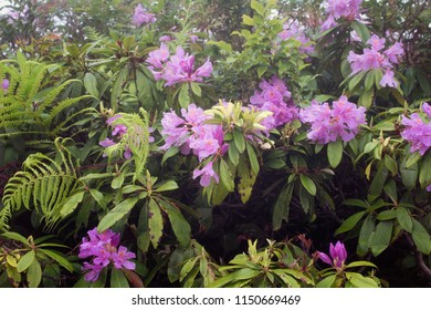 View of mountain roses (Rhododendron ponticum) and wild plants. The image is captured in the mountain called Sis of Trabzon city located in Black Sea region of Turkey.
