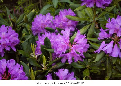 View of mountain roses (Rhododendron ponticum) The image is captured in the mountain called Sis of Trabzon city located in Black Sea region of Turkey.