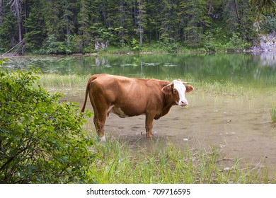 View of mountain scenary with grazed cow at summer day