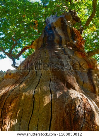A view up the multi-couloured striped  trunk of an oak tree, that has lost its bark, in to its canopy of leaves.