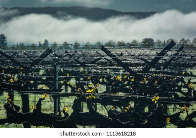 A view of a Napa Valley vineyard in the early morning with grapevines growing in rows and fog rising in the distance.