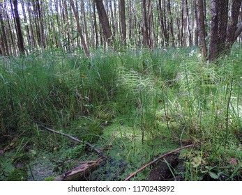 View of a natural stand of a dense colony of Equisetum fluviatile, the water horsetail or swamp horsetail on a bog in North-Eastern Poland. Poland, Europe
