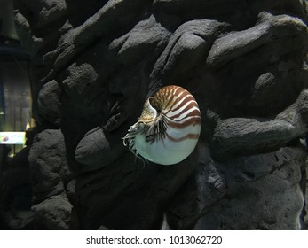 View of a nautilus swimming inside an aquarium.
