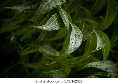 View of Neem tree (Azadirachta indica) branch with leaves having water drops from rain