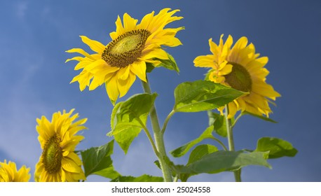 View of nice fresh sunflowers on blue sky back