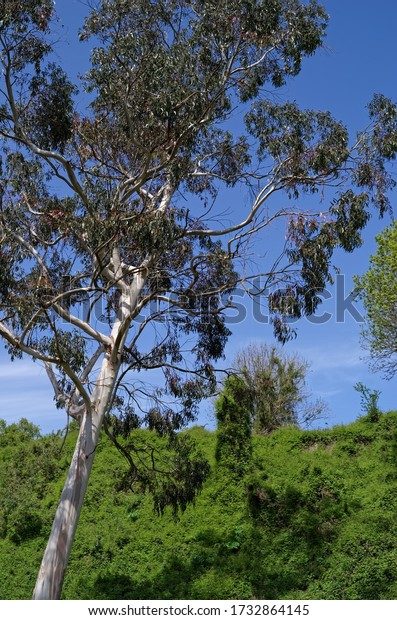 A view of the non-native eucalyptus tree (Eucalyptus globulus) that grows in County Wicklow, Ireland. Sunny day. Blue sky. Vertical view.